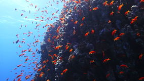 Colorful Fish and corals On Reef  in red sea. stock footage