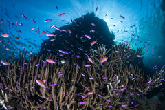 Colorful Fish and Corals in Tropical Pacific Royalty Free Stock Image