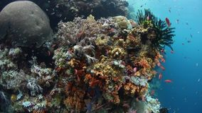 Colorful fish and corals in Wakatobi, Indonesia. Colorful reef fish swim above a vibrant coral reef in Wakatobi National Park, Indonesia. This tropical region stock video footage