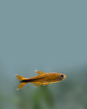 Colorful fish deep in aquarium tank. Goldfish Royalty Free Stock Image