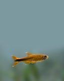 Colorful fish deep in aquarium tank. Goldfish Royalty Free Stock Image