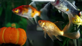 Colorful fish enjoying in the aquarium. Health and Body care stock footage