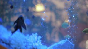 Colorful Fish Enjoying in the Aquarium. Slide Shoot of a Colorful Fish Enjoying in the Aquarium stock video footage