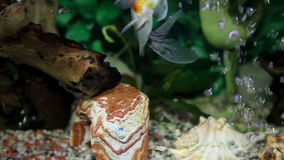 A colorful fish enjoying in the specially decorated aquarium. Health and Body care stock footage