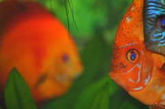 Colorful fish faces (tropical aquarium fish) Royalty Free Stock Photos