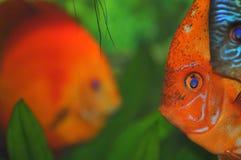 Colorful fish faces (tropical aquarium fish). Closeup on the colorful aquarium fish Royalty Free Stock Photos
