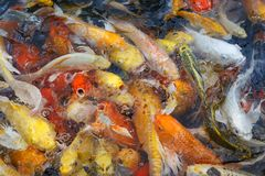 Colorful fish or fancy carp blur. Detail Stock Photography