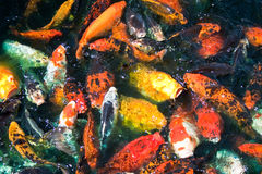 Colorful Fish Feeding Stock Photography