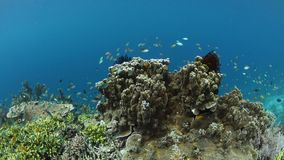 Colorful fish and Healthy Corals in Raja Ampat. Small, colorful fish swim above a healthy coral reef in Raja Ampat, Indonesia. This remote, tropical region is stock video footage