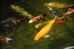 Colorful fish in the lake stock photography