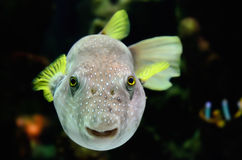 Colorful Fish Looking at Camera. Royalty Free Stock Images