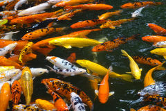 Colorful fish. Many colorful fish in water stock images