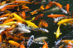 Colorful fish. Many colorful fish in water royalty free stock images