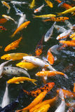 Colorful fish. Many colorful fish in water royalty free stock photos