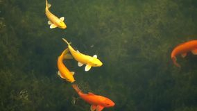 Colorful fish stock video footage