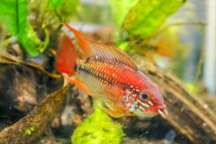 Colorful Fish. A colorful fish name Apistogramma Macmasteri Royalty Free Stock Photography