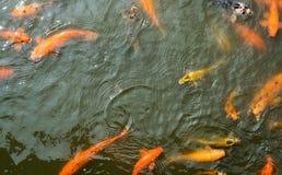 Colorful  koi fish pond  in Isha foundation Royalty Free Stock Photos