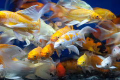 Colorful fish in the pond. Stock Photos
