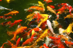 Colorful fish in the pool stock photos