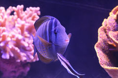 Colorful fish in the Red Sea. Eilat, Israel Royalty Free Stock Photos