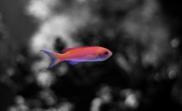 Colorful fish in reef aquarium tank royalty free stock photography