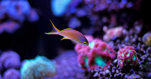 Colorful fish in reef aquarium tank. In saltwater reef aquarium tank, underwater shot stock photos
