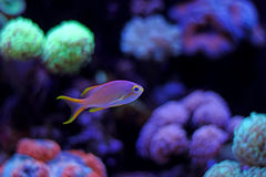 Colorful fish in reef aquarium tank. In saltwater reef aquarium tank, underwater shot stock photography