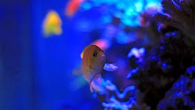 Colorful fish in reef aquarium tank. In saltwater reef aquarium tank, underwater shot royalty free stock image