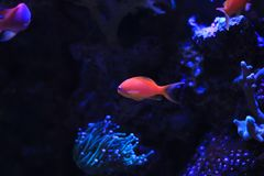 Colorful fish in reef aquarium tank royalty free stock photos
