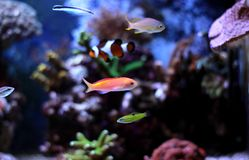 Colorful fish in reef aquarium tank. In saltwater reef aquarium tank, underwater shot stock images