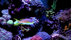 Colorful fish in reef aquarium tank. In saltwater reef aquarium tank, underwater shot royalty free stock photos