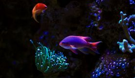 Colorful fish in reef aquarium tank. In saltwater reef aquarium tank, underwater shot stock image