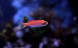 Colorful fish in reef aquarium tank stock image