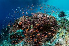 Colorful Fish on Reef in Indonesia Royalty Free Stock Photo