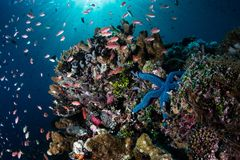 Colorful Fish and Reef Invertebrates in Indonesia. Colorful fish and invertebrates thrive on a gorgeous coral reef near the island of Alor in Indonesia. This Royalty Free Stock Photo