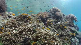 Colorful Fish and Reef in Raja Ampat. Colorful fish swim over a coral reef in Raja Ampat, Indonesia. This remote region harbors extraordinary marine biodiversity stock video footage