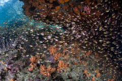 Colorful Fish on Reef. A school of Golden Sweepers swim over a reef in Raja Ampat, Indonesia. This region is known to harbor an extraordinary amount of marine Stock Images