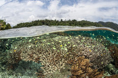 Colorful Fish and Reef in Shallows. A healthy, robust coral reef grows in the shallows of Raja Ampat, Indonesia. This region is the heart of the Coral Triangle Stock Images