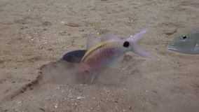Colorful fish on sandy bottom in clean clear water of ocean Philippines. Travel in world of unique beautiful ecosystem nature coral, algae. Inhabitants of deep stock video footage