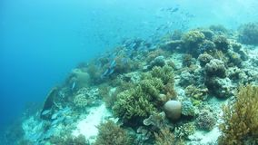 Flourishing Reef and Fish in Raja Ampat. Colorful fish swim above a flourishing coral reef in Raja Ampat, Indonesia. This remote, tropical region is famous for stock footage