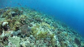Healthy and biodiverse reef in Alor. Colorful fish swim above a vibrant coral reef near Alor, Indonesia. This tropical region, part of the Coral Triangle, is stock footage
