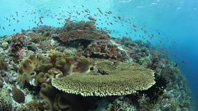 Healthy and biodiverse reef in Indonesia. Colorful fish swim above a vibrant coral reef near Alor, Indonesia. This tropical region, part of the Coral Triangle stock video footage