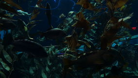 Fish and Plant Life Underwater 2. Colorful fish swim in an aquarium around underwater plants stock footage