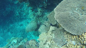 Colorful fish swim among coral.  stock video