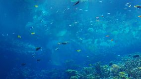 Colorful fish swim by a coral reef stock footage