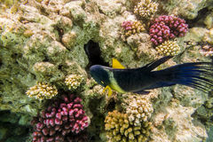 Colorful fish swim on a coral reef in the Red Sea Stock Image