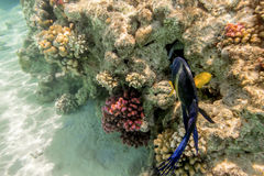 Colorful fish swim on a coral reef in the Red Sea Stock Photography