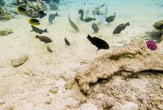 Colorful fish swim on a coral reef in the Red Sea Stock Photos