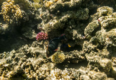 Colorful fish swim on a coral reef in the Red Sea Royalty Free Stock Images