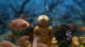 Colorful fish swim peacefully in an aquarium stock video